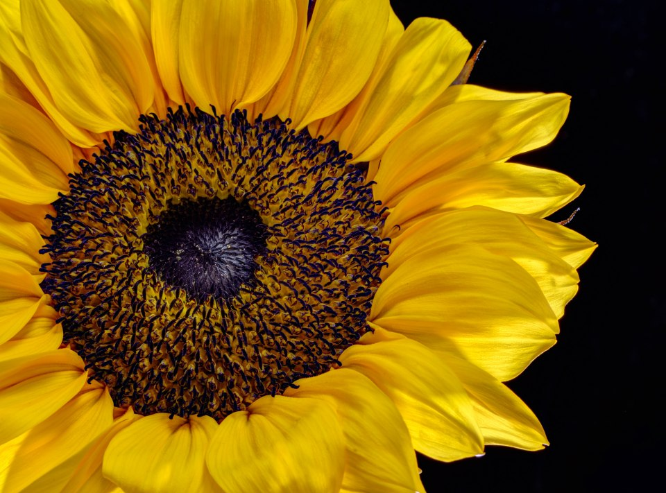 Sunflower Backlit